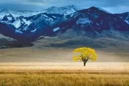 Tranh cây cổ thụ hoa vàng trên thảo nguyên