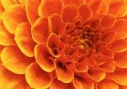 Tranh hoa màu cam lớn