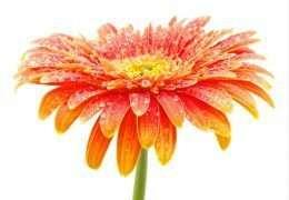 Tranh hoa đồng tiền màu cam rực rỡ 4-3020