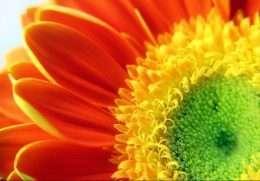Tranh cận cảnh hoa cúc màu cam