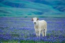 tranh in chú bò trắng trên đồng hoa