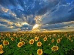Vẻ đẹp hoàng hôn trên cánh đồng hoa hướng dương bất tận 4-8058