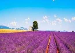 Tranh in cánh đồng hoa tím đến chân trời 4-3023