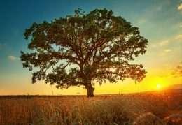 Cây xanh cổ thụ trên cánh đồng mùa hè 4-4038