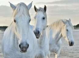 Tranh 3 chú ngựa trắng 4-5028