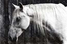 Tranh in chú ngựa trắng đen 4-9039